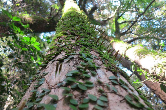 木に寄生したシダ系