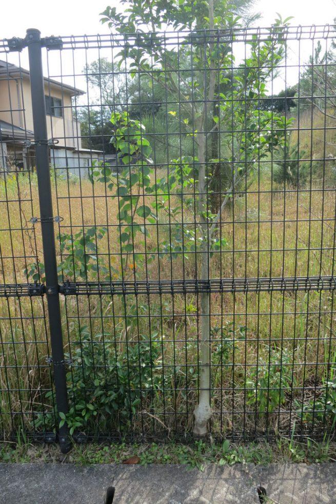 鉄の柵を呑み込んだ樹