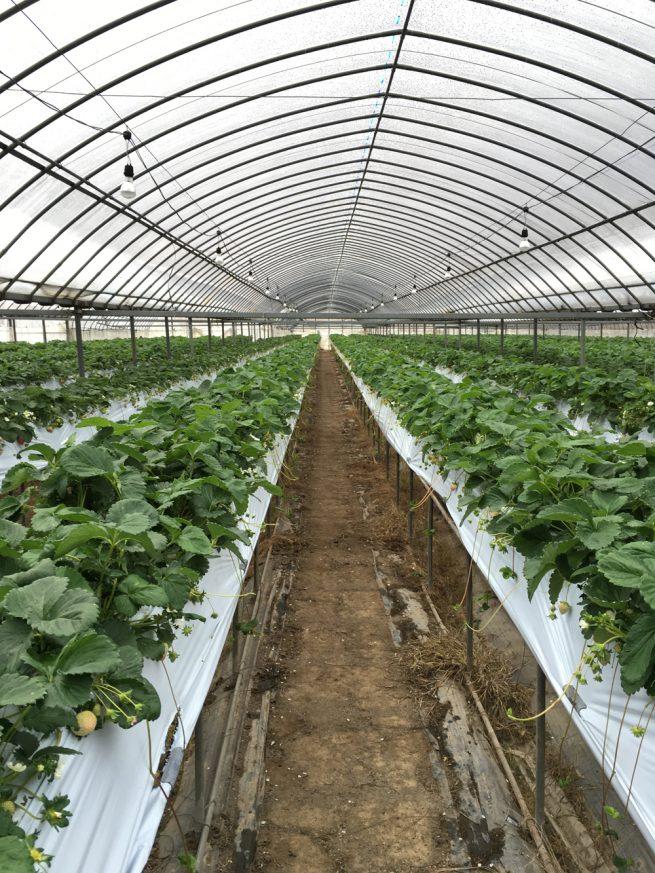 イチゴ栽培棚(自動散水システム)