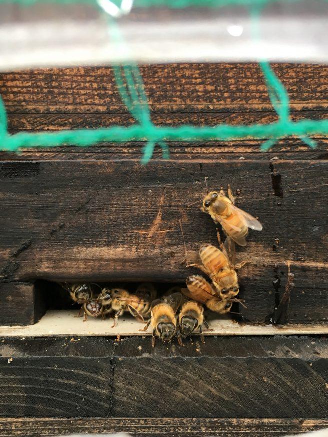 ハウス内の蜜蜂(西洋ミツバチ)