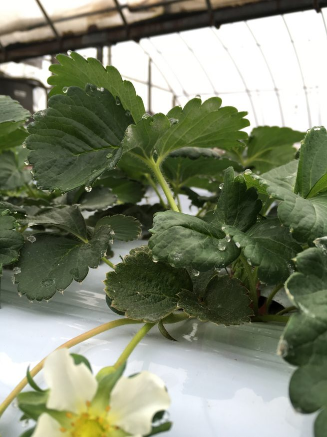 イチゴ葉に養分を含んだ葉水