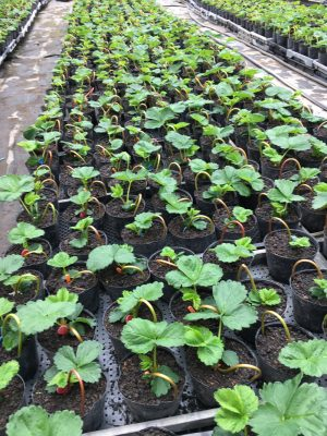 別棟では親苗から次の種苗栽培の準備